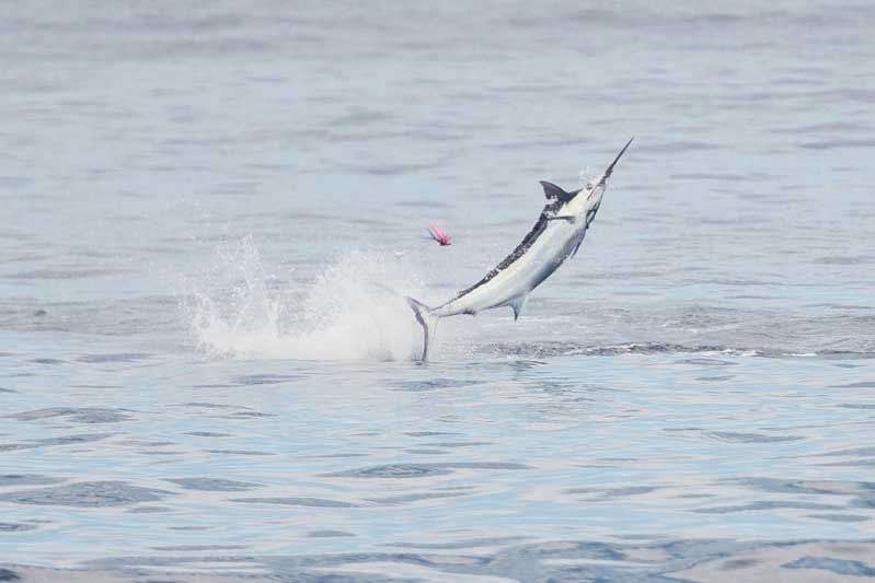 Mru-Billfish-Release-Day4-13